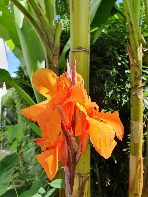 Rémi - Mon (tout) petit jardin en mode tropical - Page 14 20190886