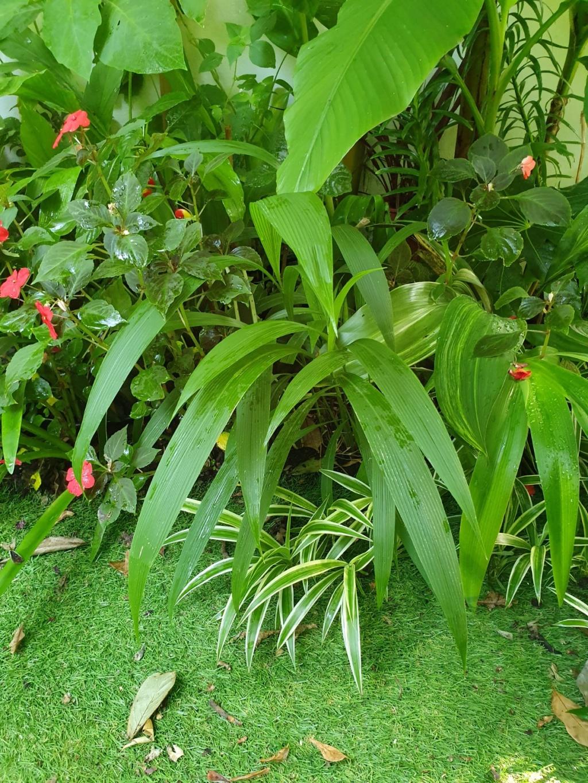 Rémi - Mon (tout) petit jardin en mode tropical - Page 14 20190901