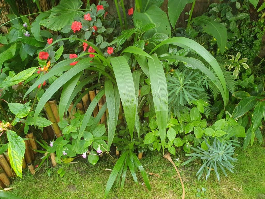 Setaria palmifolia - sétaire à feuilles de palmier - Page 2 20190968