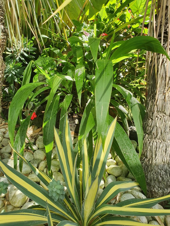 Setaria palmifolia - sétaire à feuilles de palmier - Page 2 20190969