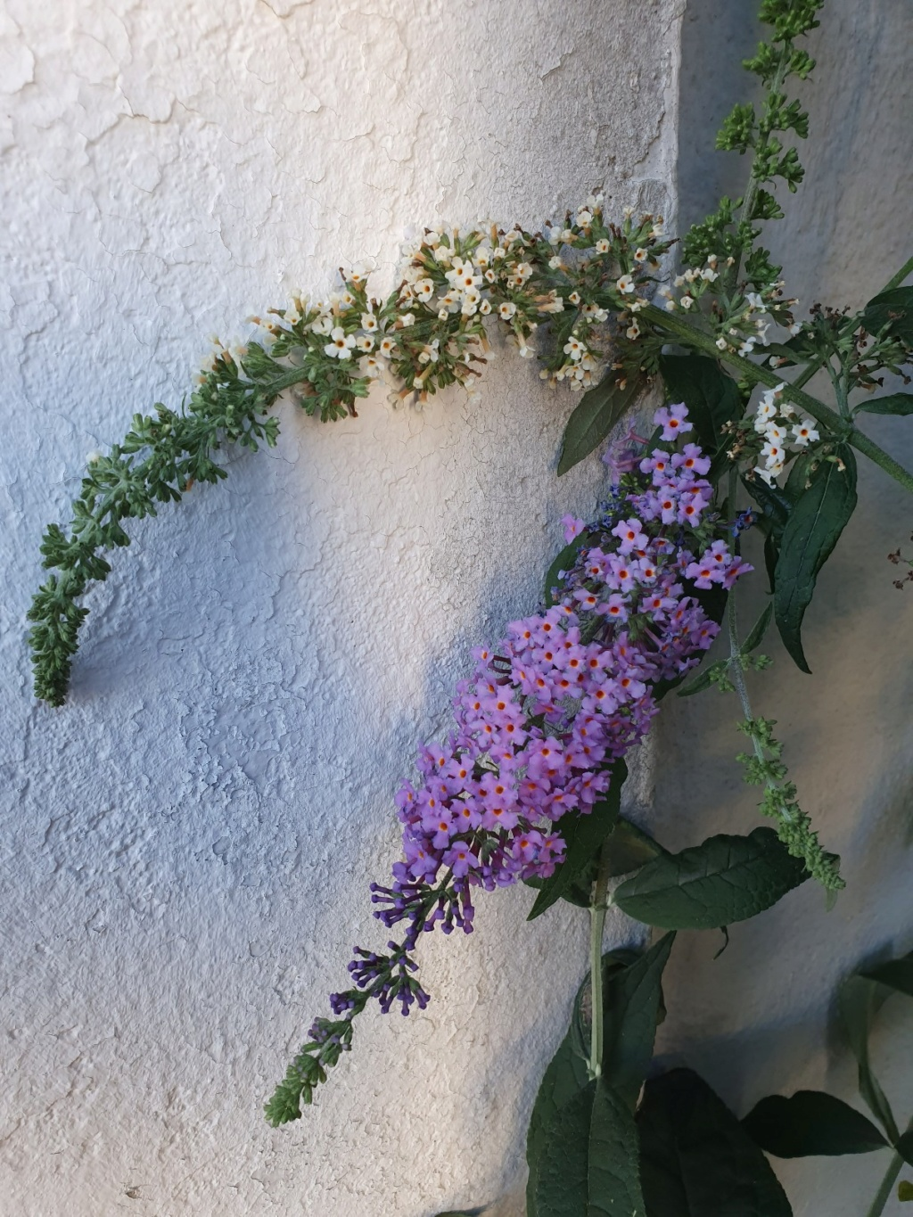 Buddleja davidii - buddleia de David 20190996