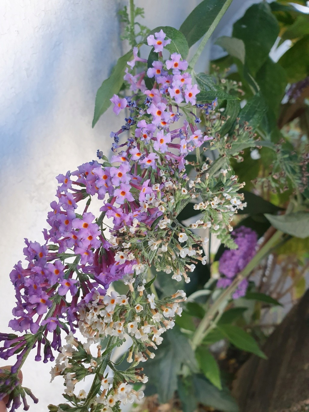 Buddleja davidii - buddleia de David 20190998