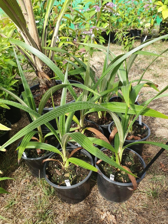 Molineria crassifolia (= Curculigo crassifolia) - palm grass 20191044