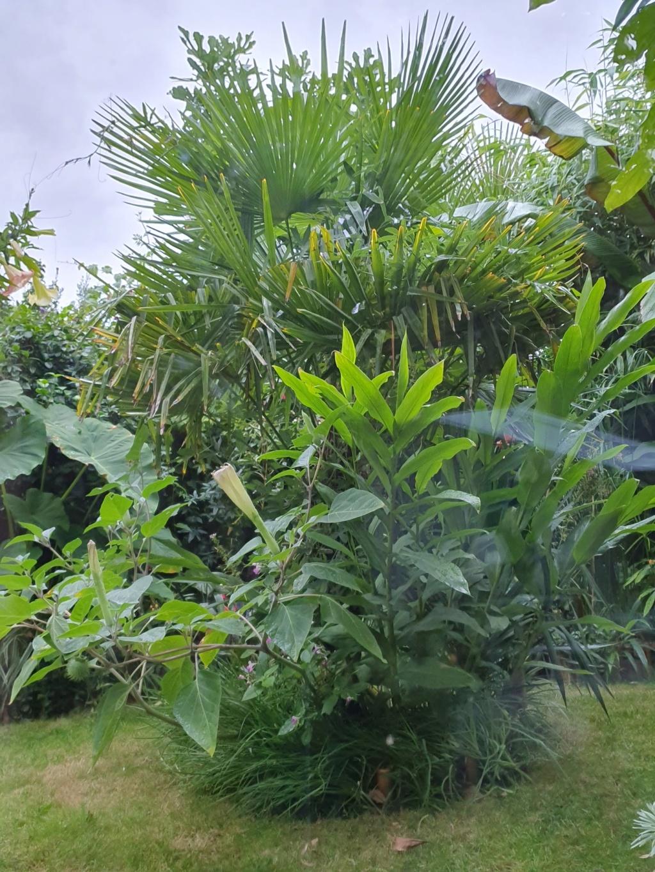 Rémi - Mon (tout) petit jardin en mode tropical - Page 15 20191072