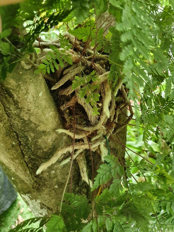 Davallia - fougère patte de lapin - Page 4 20191081