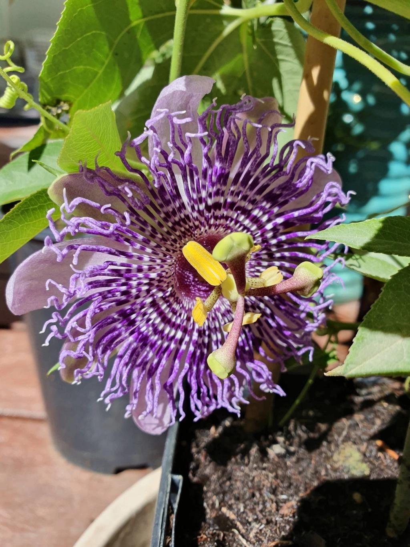 Passiflora 'Fata Confetto' 20191083