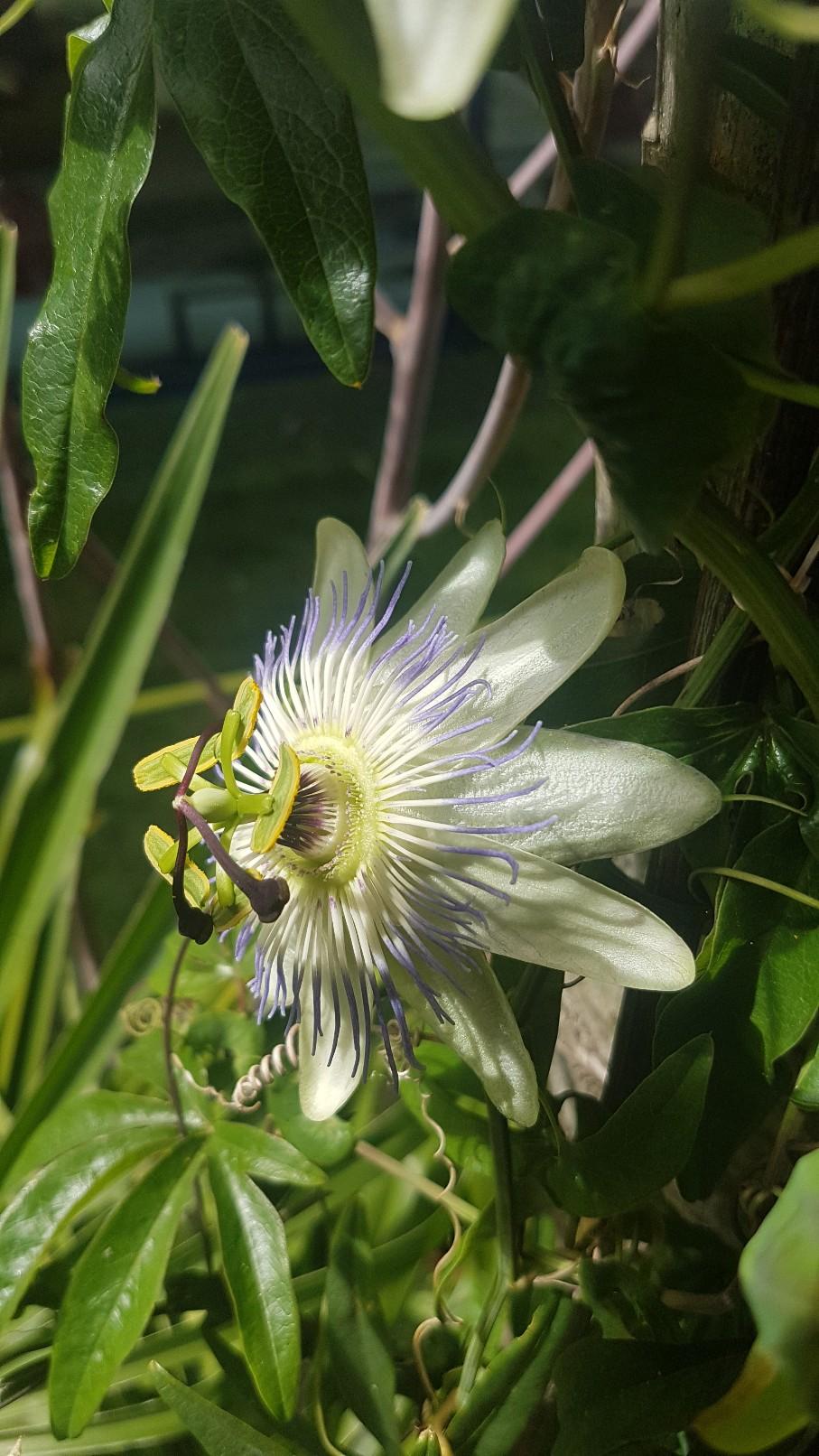 Passiflora caerulea - Page 4 20191093