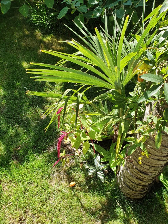 Rémi - Mon (tout) petit jardin en mode tropical - Page 15 20191112