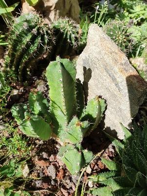 Euphorbia resinifera - Page 3 20191154