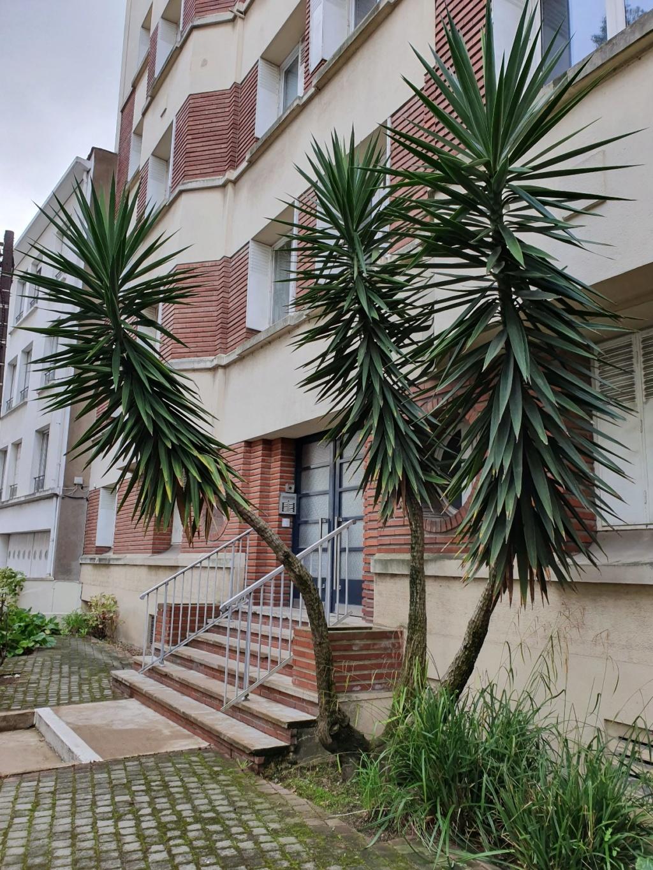 Yucca elephantipes - Yucca gigantea - Yucca guatemalensis - Page 6 20191230