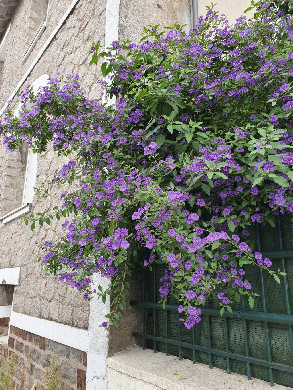 Solanum rantonnetii - Page 2 20191238
