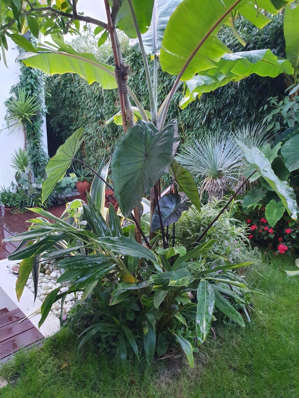 Rémi - Mon (tout) petit jardin en mode tropical - Page 15 20191251