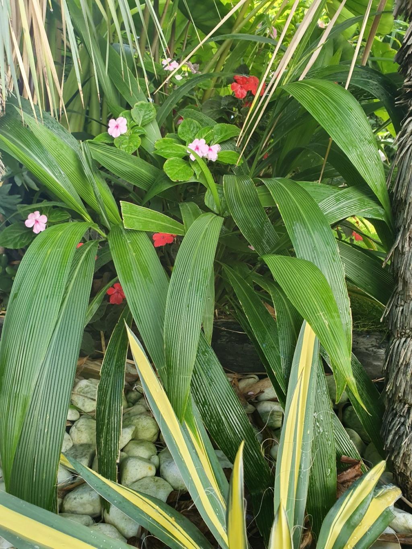 Setaria palmifolia - sétaire à feuilles de palmier - Page 2 20191276
