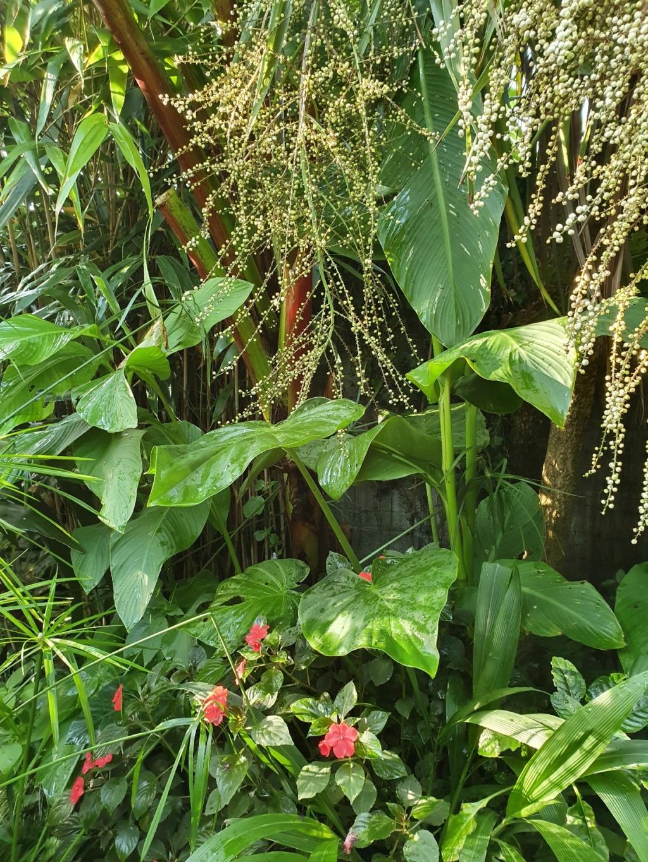 Rémi - Mon (tout) petit jardin en mode tropical - Page 16 20191288