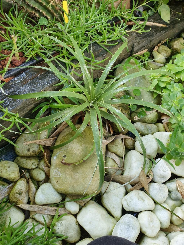 Puya chilensis 20191301