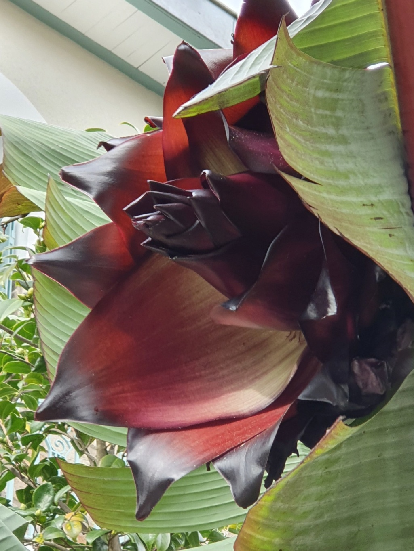 Ensete ventricosa maurelli - bananier rouge 20191307