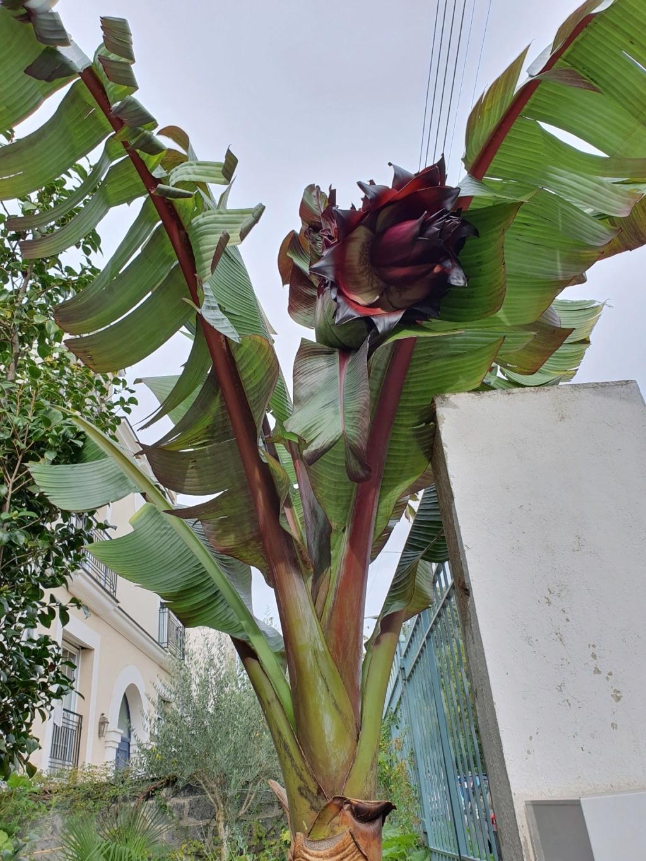 Ensete ventricosa maurelli - bananier rouge 20191308