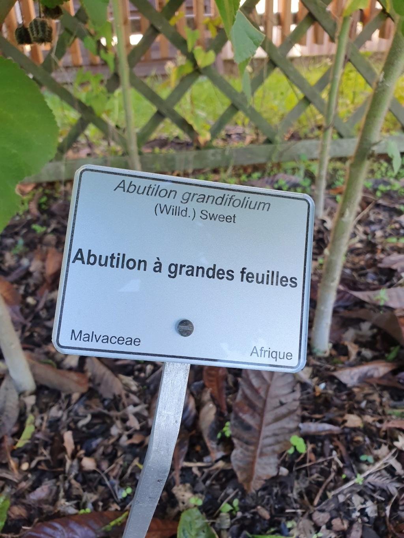 Abutilon grandifolium 20191311