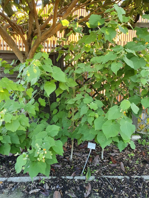Abutilon grandifolium 20191313