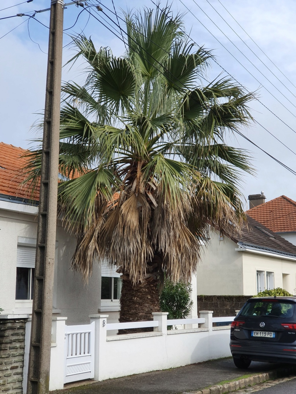 Washingtonia filifera 20191327