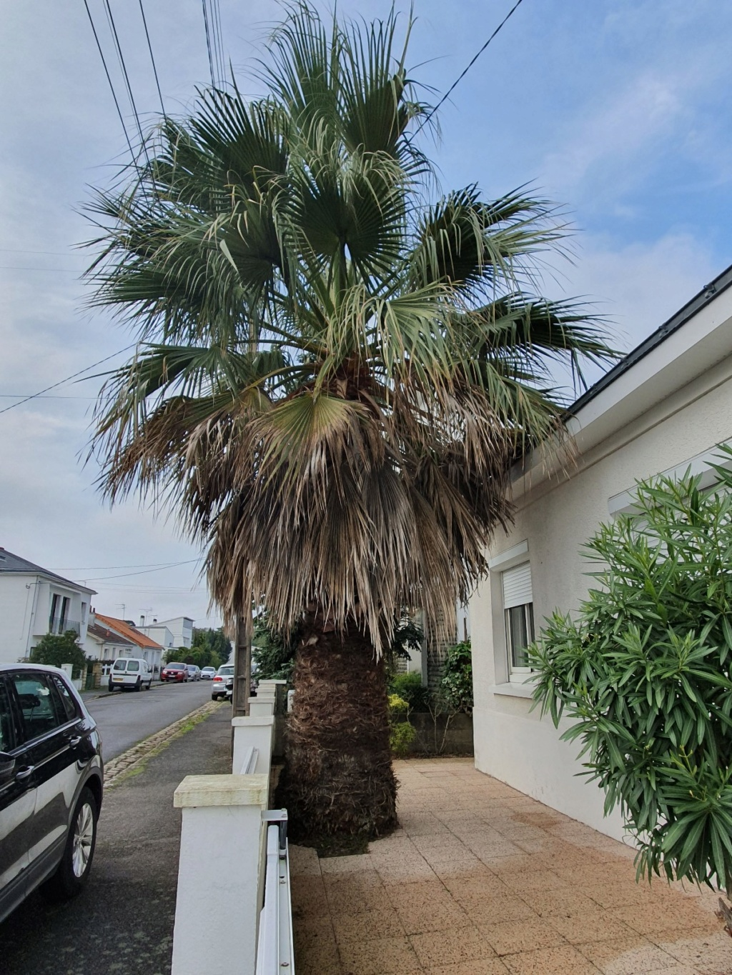 Washingtonia filifera 20191328