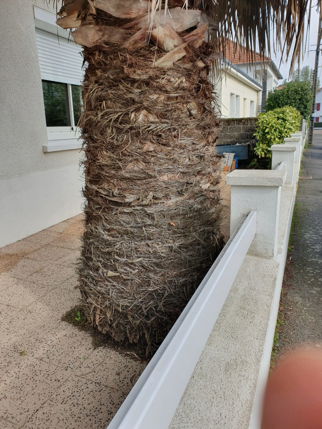 Washingtonia filifera 20191329