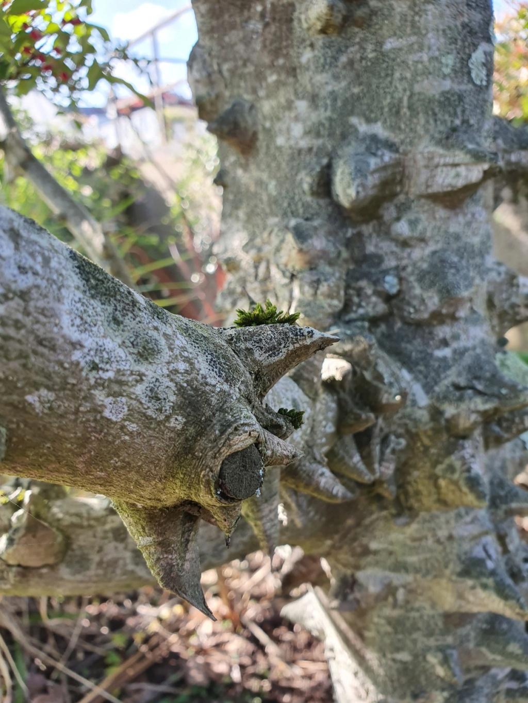Zanthoxylum bungeanum - poivrier du Sichuan 20191335