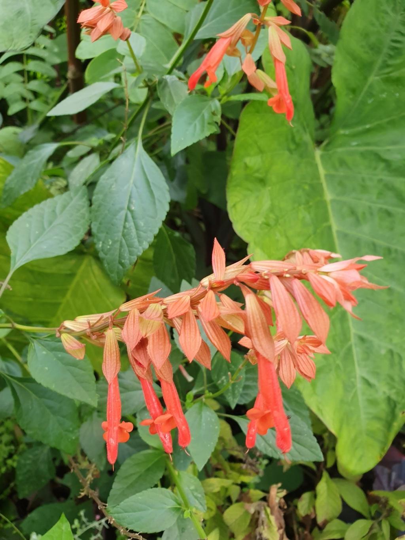 Salvia - les floraisons du moment - Page 19 20191363