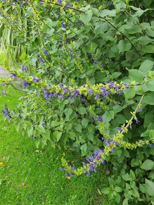 Salvia - les floraisons du moment - Page 19 20191364