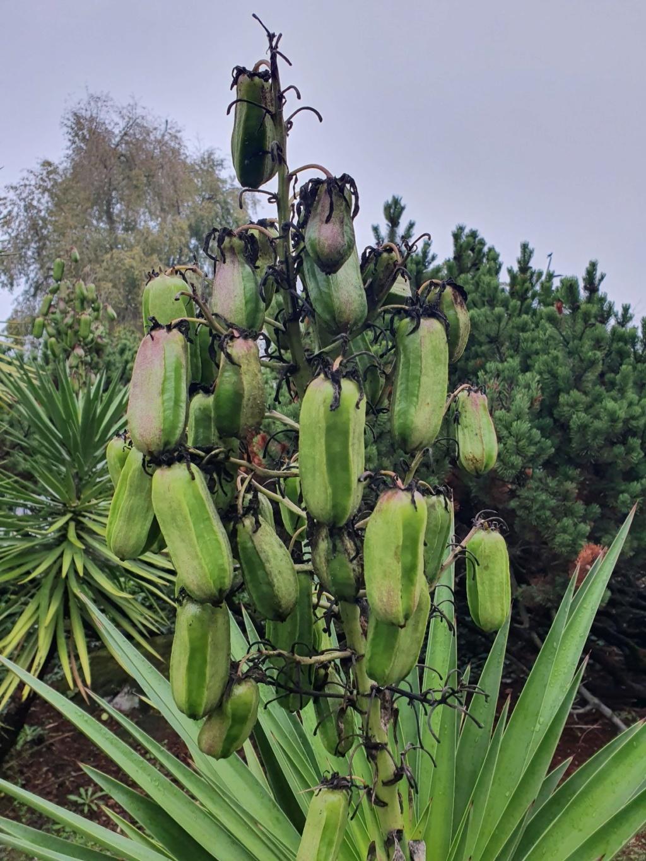Yucca aloifolia - Page 3 20191375