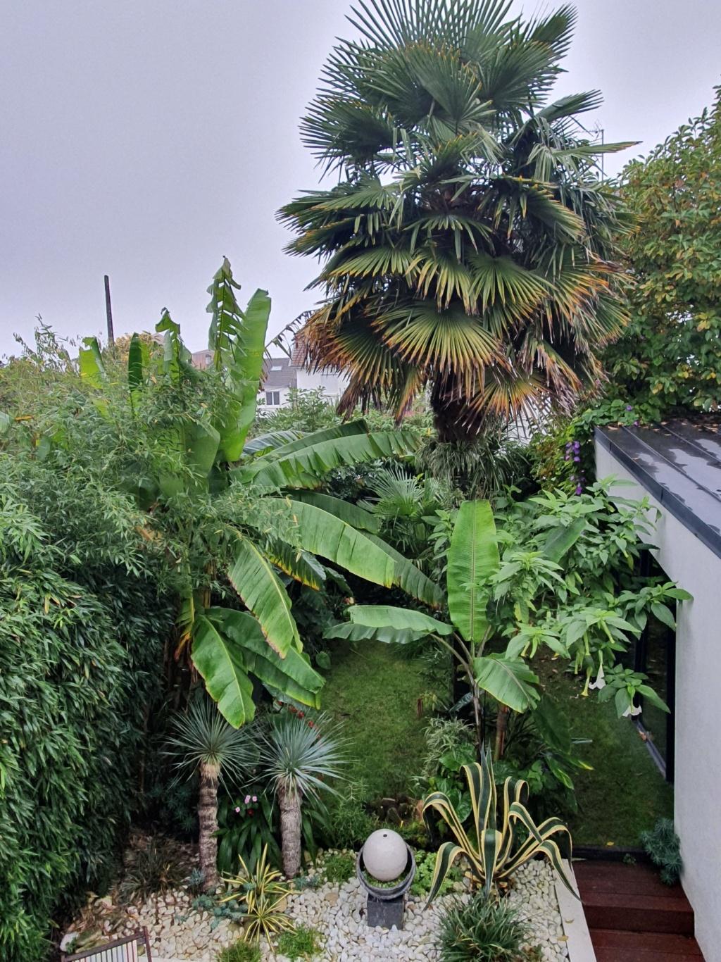 Rémi - Mon (tout) petit jardin en mode tropical - Page 16 20191376