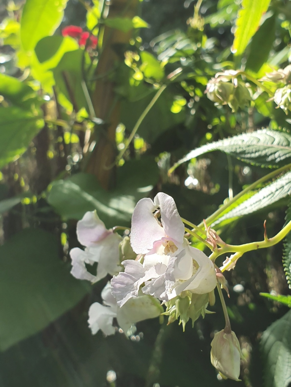 Impatiens glandulifera - balsamine de l'Himalaya  - Page 3 20191383