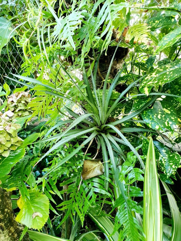 Support à épiphytes et broméliacées rustiques - Page 4 20191411