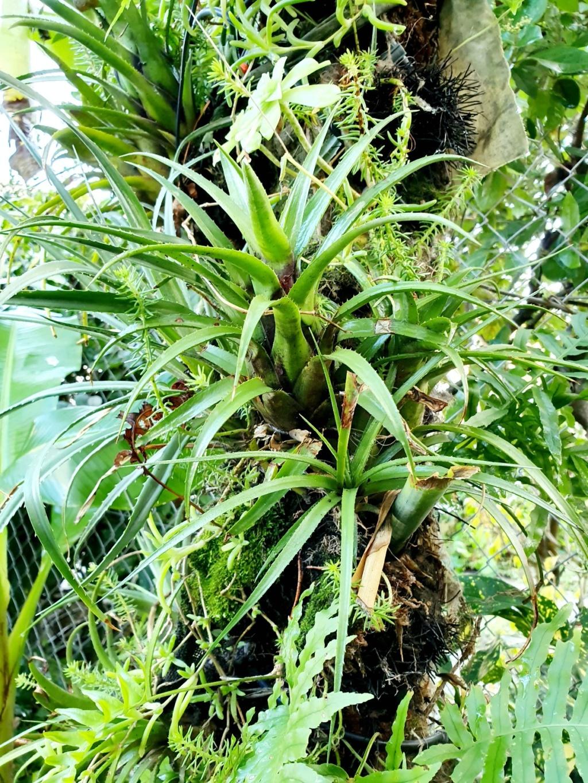 Support à épiphytes et broméliacées rustiques - Page 4 20191412
