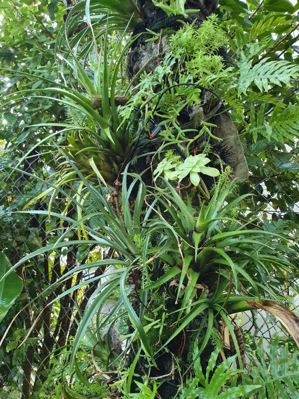 Support à épiphytes et broméliacées rustiques - Page 4 20191413