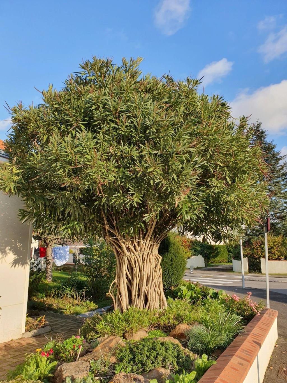 Nerium oleander - laurier rose - Page 6 20191434