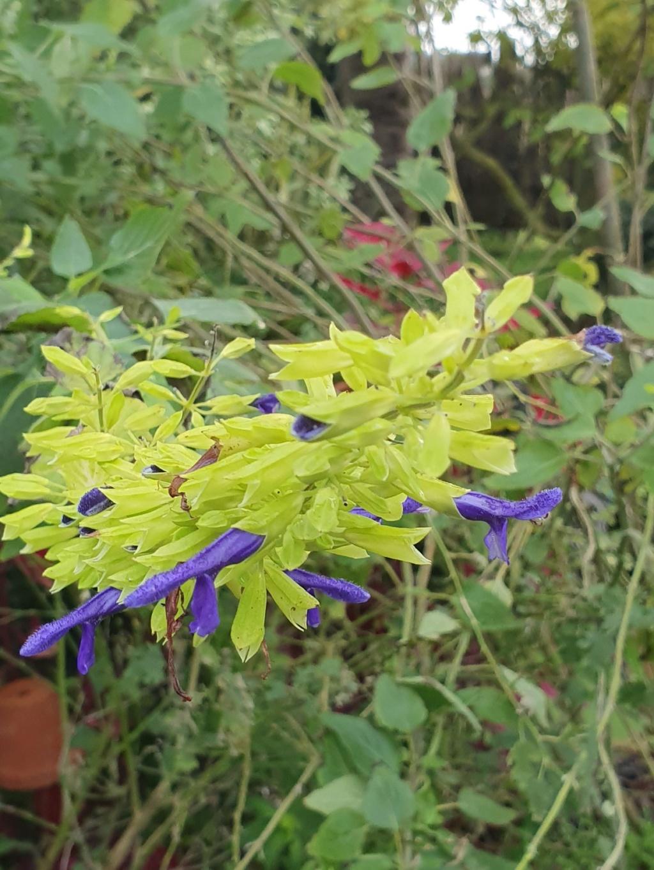 Salvia mexicana 'Limelight' 20191449