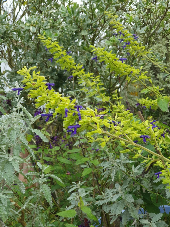 Salvia mexicana 'Limelight' 20191450