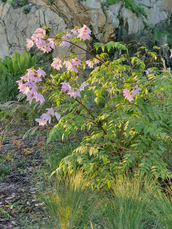 Dahlia imperialis - Page 9 20191485