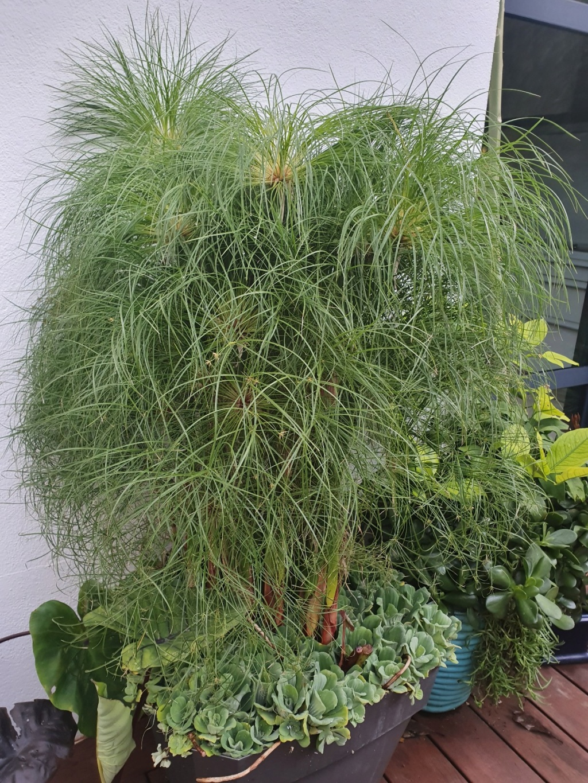 "Cyperus ""Nofretete"" - Papyrus nain du Nil 20191486"