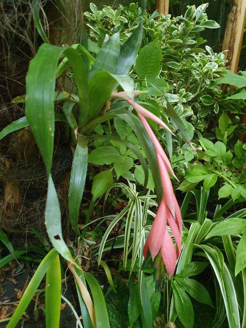 Billbergia x windii - Page 3 20191501