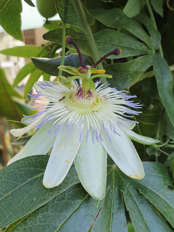 Passiflora caerulea - Page 5 20191505