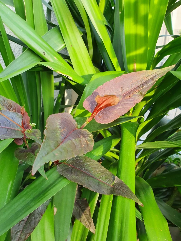 Persicaria microcephala 'Red Dragon' 20200102