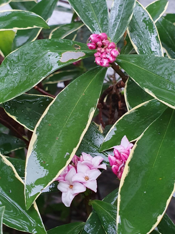 Daphne odora 'Aureomarginata' - Page 3 20200125
