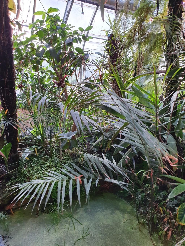 Plante tropicale  au look de palmier - zingiberaceae ? 20200133