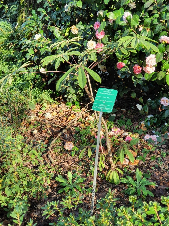 Schefflera rhododendrifolia (= Schefflera impressa) - Page 3 20200140