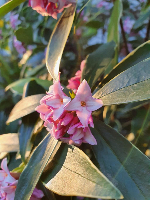 Daphne odora 'Aureomarginata' - Page 3 20200143
