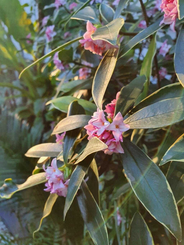 Daphne odora 'Aureomarginata' - Page 3 20200144