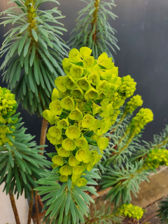 Euphorbia characias - Page 3 20200220