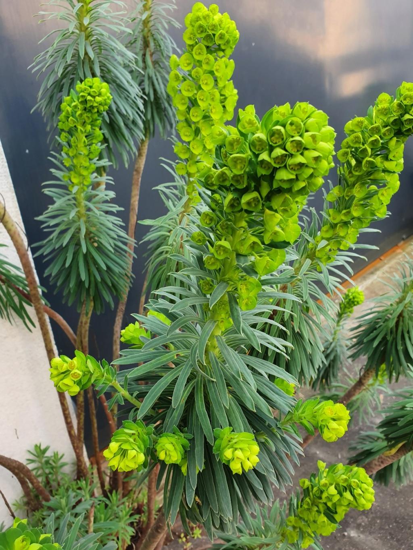 Euphorbia characias - Page 3 20200221